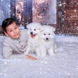 Шикарные щенки самоеда белые мишки, Омск