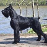 Ризеншнауцер щенки чёрного окраса, Омск