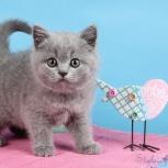 Голубые британские котята!, Омск