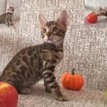 Бенгальский котик для души, Омск