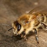 Пчелопакеты 2020 карпатка карника c доставкой, Омск
