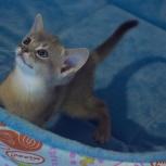 Котята абиссинской породы, Омск
