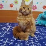 Шикарные котята Мейн-кунчиков, Омск