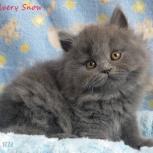 Голубые  длинношерстные британские котята., Омск