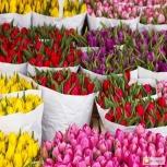 Тюльпаны оптом и в розницу, Омск