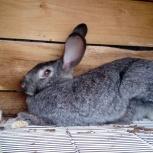 Кролики,Фландр,Сибирская Шиншила,Коллифорнийцы, Омск