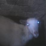 Перевезу КРС Продам козу козла петухи, Омск