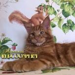 Котенок мейн кун красный солид. Шоу класс, Омск
