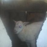 Продам козу козла козлят перевезу крс, Омск