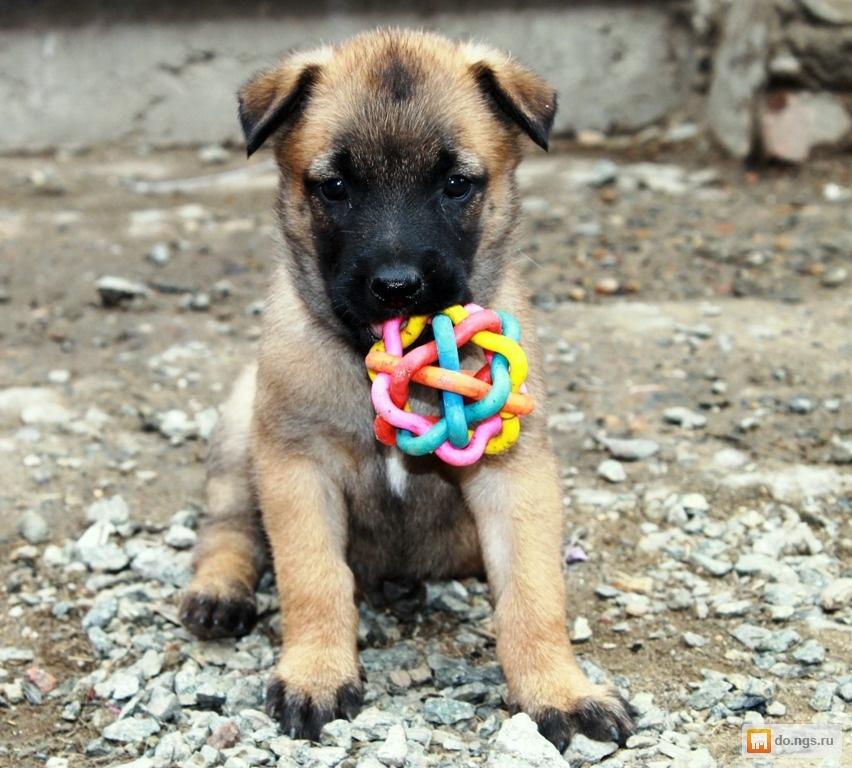 щенок малинуа фото