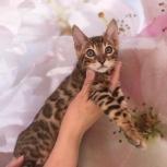 Яркий бенгальский котик. Продажа, Омск