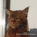 Котенок мейн-кун красный. Шоу класс, Омск