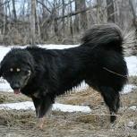 Монгольская овчарка. Банхар, Омск
