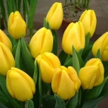 Тюльпаны экстра оптом к 8 марта Омск. От производителя! Golden parad, Омск