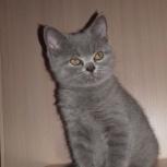 Британские голубые котята, Омск